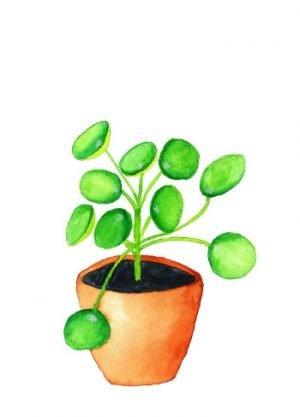 pannenkoekplant afbeelding kaart